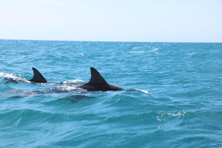Jamaica dolphins
